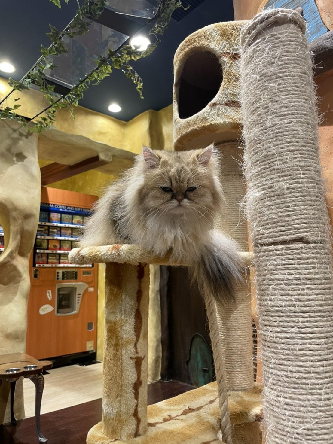 キャットタワーの猫(長毛種)