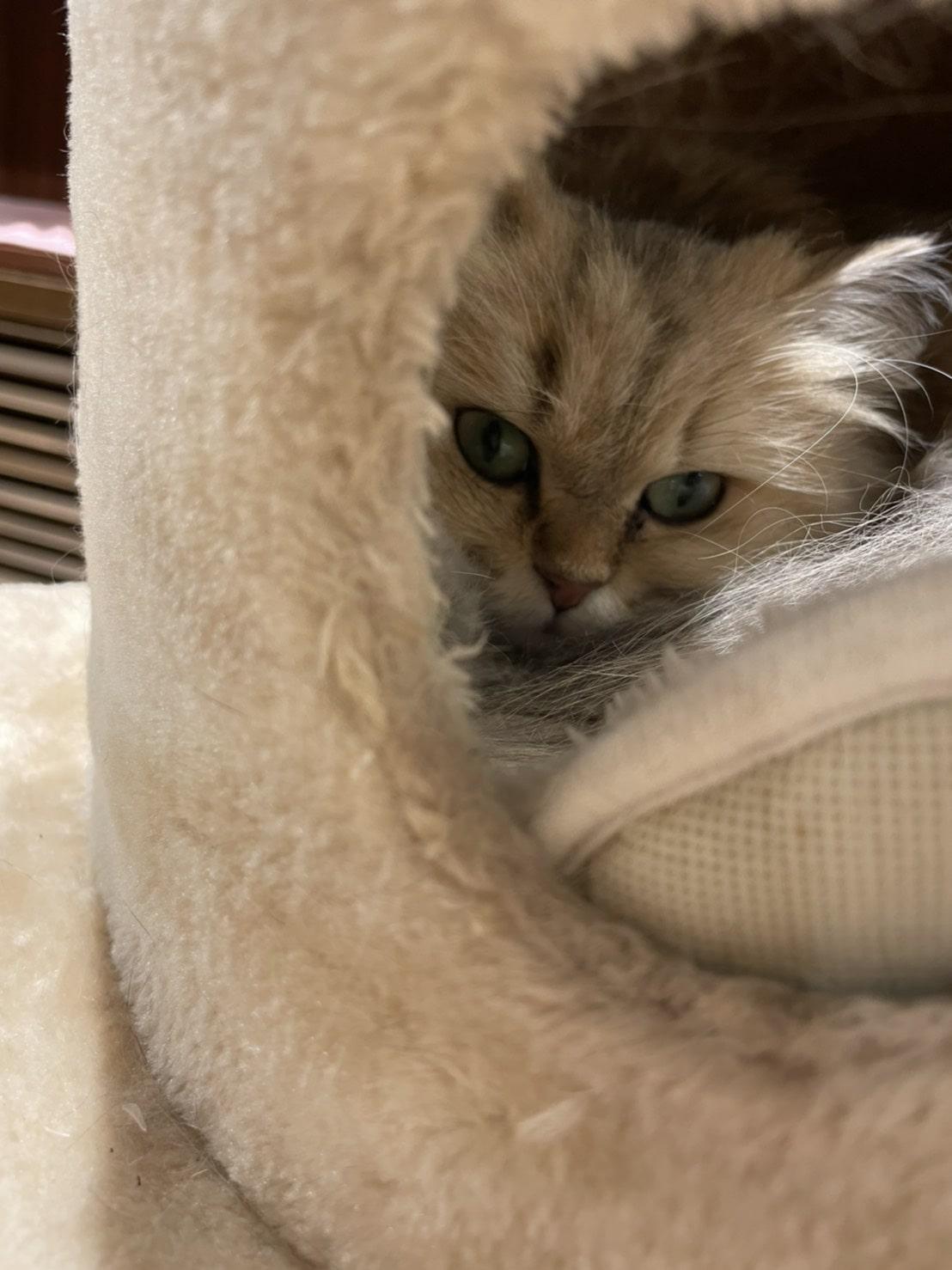 キャットタワーに籠もってる猫