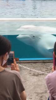 観客の真横を泳ぐシロイルカ